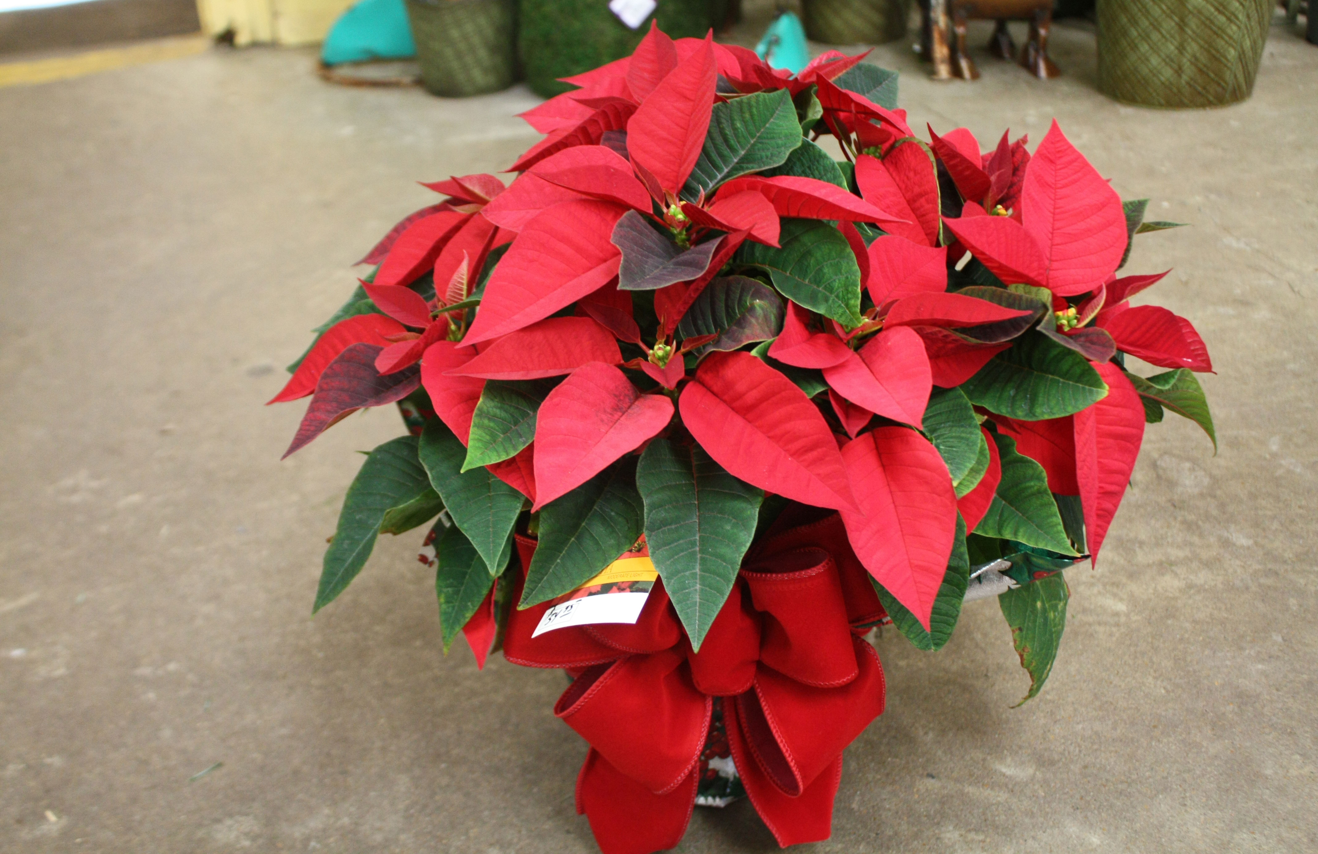 Wrapped Red Poinsettia