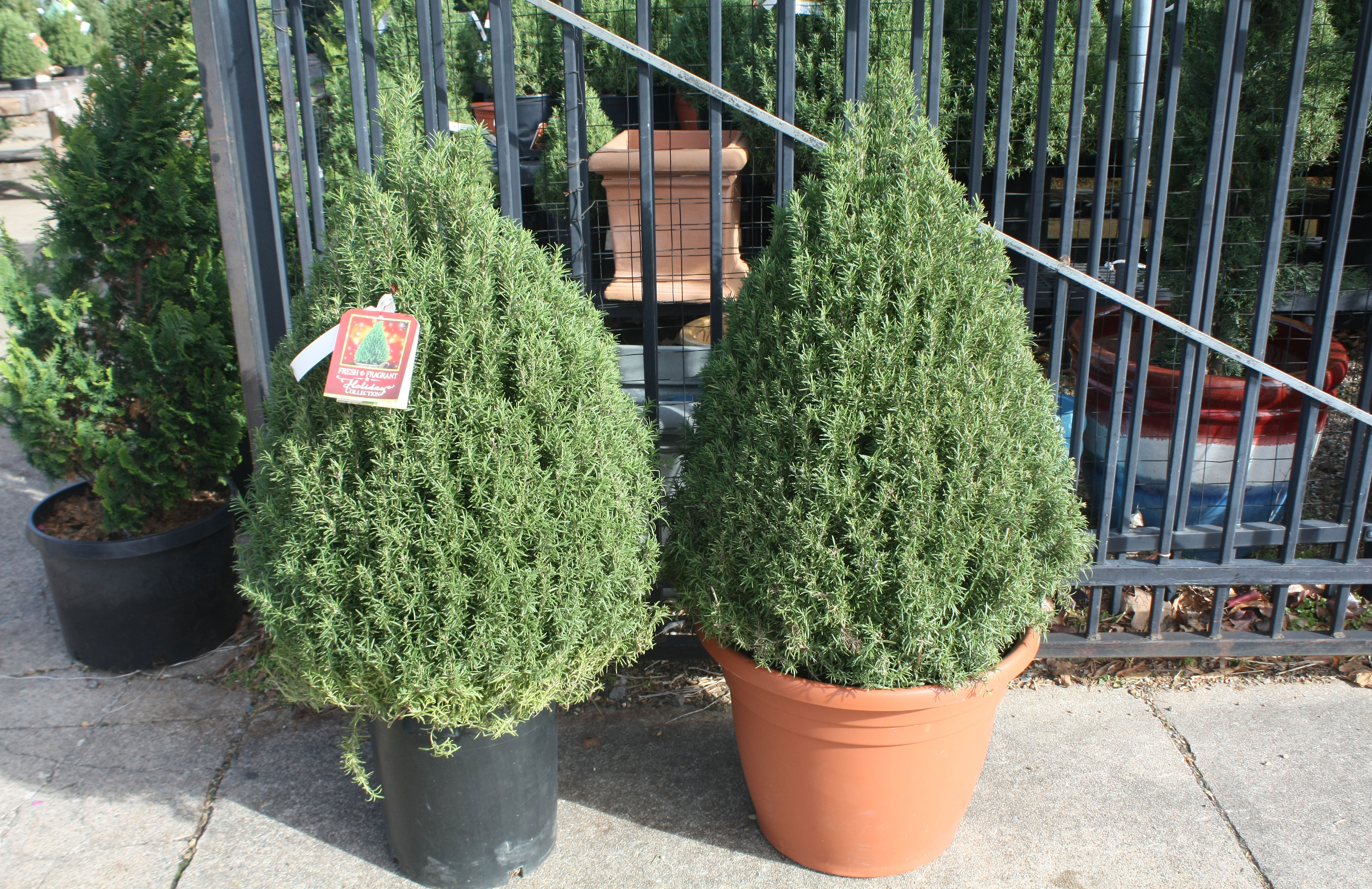 Large Rosemary Shrubs