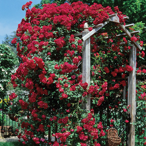 <h4>Blaze</h4>       		<p>Climber</p>         	<p><b>Height/Habit:</b>  15' Canes<br>         	<b>Bloom Size:</b> Medium<br>         	<b>Fragrance:</b> Light<br>         	<b>Color:</b> Red<br>         	One of the finest and most popular red climbers. Bright scarlet, 3 inch semi-double, cupped blooms. Vigorous grower and continual bloomer.       		</p>