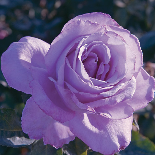 <h4>Blue Girl</h4>       		<p>Hybrid Tea</p>         	<p><b>Height/Habit:</b>  3' x 4'<br>         	<b>Bloom Size:</b> Large<br>         	<b>Fragrance:</b> Mild<br>         	<b>Color:</b> Lavender Blue<br>         	Opening from dark buds, the huge flowers have petals that are a silvery lavender, turning into a gray-blue as the flower ages- very close to a true blue.       		</p>