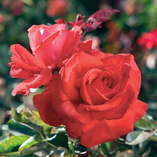 <h4>Dolly Parton</h4>       		<p>Hybrid Tea</p>         	<p><b>Height/Habit:</b>  4' x 5'<br>         	<b>Bloom Size:</b> Very Large<br>         	<b>Fragrance:</b> Strong<br>         	<b>Color:</b> Red<br>         	Drop dead gorgeous, almost bigger than life. Extravagantly fragrant, with vibrant lipstick red color. What else would Dolly need?       		</p>