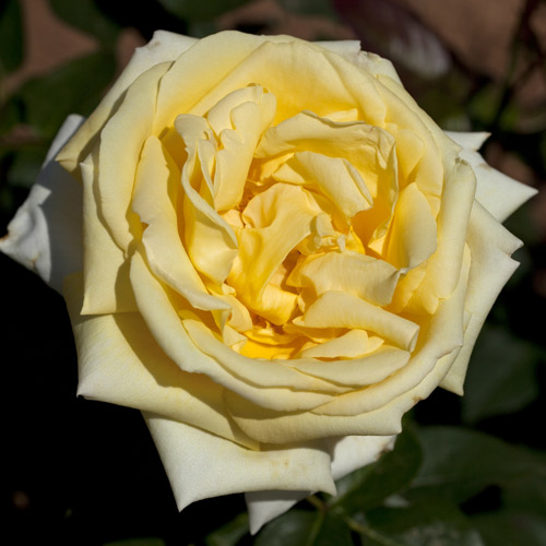 <h4>Eternal Flame</h4>       		<p>Hybrid Tea</p>         	<p><b>Height/Habit:</b>  3' x 5'<br>         	<b>Bloom Size:</b> Large<br>         	<b>Fragrance:</b> Strong, Citrus<br>         	<b>Color:</b> Yellow<br>         	This plant is a blooming machine, putting out flush after flush of gorgeous citrus-scented blooms; Exceptionally disease resistant.       		</p>
