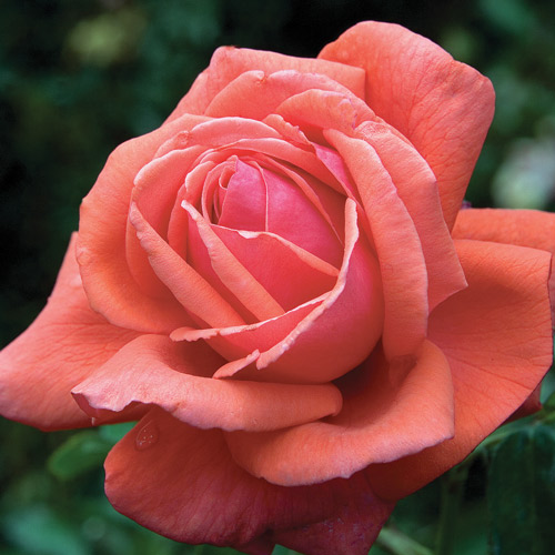 <h4>Fragrant Cloud</h4>       		<p>Hybrid Tea</p>         	<p><b>Height/Habit:</b>  4' x 5' tall x 4' wide<br>         	<b>Bloom Size:</b> Large<br>         	<b>Fragrance:</b> Luxuriant Perfume<br>         	<b>Color:</b> Coral Red<br>         	Large double, well-formed, coral-orange 5-6 inch blooms (petals 24-30) that produce a heady, luxuriant perfume. Bring them inside and fill the room with heavenly scent for days.       		</p>