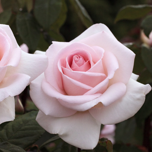 <h4>Francis Meilland</h4>       		<p>Hybrid Tea</p>         	<p><b>Height/Habit:</b>  3' x 4'<br>         	<b>Bloom Size:</b> Large, Cuplike<br>         	<b>Fragrance:</b> Strong<br>         	<b>Color:</b> Shell Pink<br>         	Classic blooms are formed on very thorny stems. This lovely rose is warm pink with a creamy reverse and is blessed with a rose/fruity fragrance.       		</p>