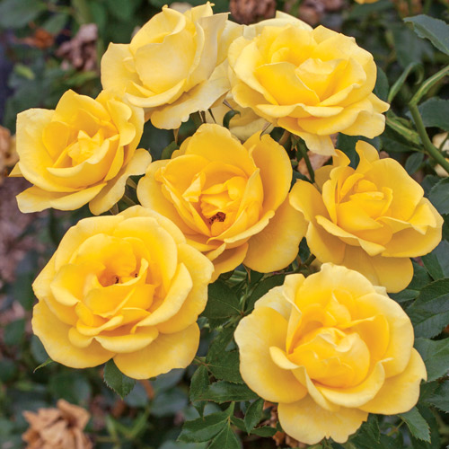 <h4>Gilded Sun</h4>       		<p>Floribunda</p>         	<p><b>Height/Habit:</b>  3' x 4'<br>         	<b>Bloom Size:</b> Medium<br>         	<b>Fragrance:</b> Slight<br>         	<b>Color:</b> Deep Yellow<br>         	Excellent yellow non-fading color and exceptional disease resistance for the type; large green glossy leaves.       		</p>