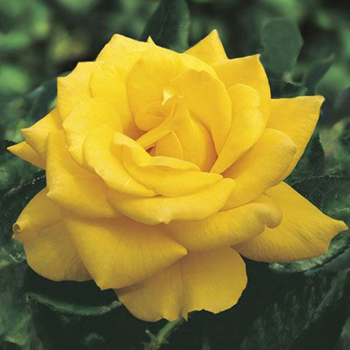 <h4>Henry Fonda</h4>       		<p>Hybrid Tea</p>         	<p><b>Height/Habit:</b>  5'- 5'<br>         	<b>Bloom Size:</b> Large<br>         	<b>Fragrance:</b> Slight<br>         	<b>Color:</b> Dark Yellow<br>         	One of the best yellow hybrid tea roses available. The pure, bright yellow color holds up to the summer sun and does not fade. Attracts butterflies.       		</p>