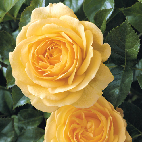 <h4>Julia Child</h4>       		<p>Floribunda</p>         	<p><b>Height/Habit:</b> 3'- 3'<br>         	<b>Bloom Size:</b> Medium<br>         	<b>Fragrance:</b> Strong<br>         	<b>Color:</b> Butter Gold<br>         	Prolific blooming and pleasant licorice-clove fragrance make this a plant a must have in gardens and containers!       		</p>
