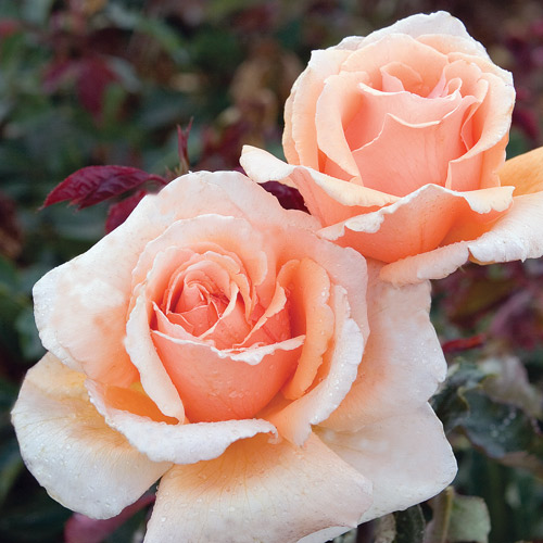 <h4>Just Joey</h4>       		<p>Hybrid Tea</p>         	<p><b>Height/Habit:</b> 4'- 5'<br>         	<b>Bloom Size:</b> Medium<br>         	<b>Fragrance:</b> Strong<br>         	<b>Color:</b> Apricot<br>         	Extremely beautiful and unusually colored rose; blooms of deep, rich copper shading and lightening toward the edges; fragrant; continual blooming.       		</p>