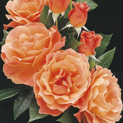 <h4>Livin' Easy</h4>       		<p>Floribunda</p>         	<p><b>Height/Habit:</b> 4'<br>         	<b>Bloom Size:</b> Medium<br>         	<b>Fragrance:</b> Moderate<br>         	<b>Color:</b> Apricot Orange<br>         	Produces waves of fragrant, double, apricot, orange and yellow blossoms with a hint of pink; easy to care for, very hardy and disease resistant.       		</p>