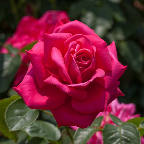 <h4>Miss All-American Beauty</h4>       		<p>Hybrid Tea</p>         	<p><b>Height/Habit:</b> 4'- 5' tall x 2'- 3' wide<br>         	<b>Bloom Size:</b> N/A<br>         	<b>Fragrance:</b> N/A<br>         	<b>Color:</b> Deep Pink<br>         	Large, cupped deep pink to light red blooms are born on a tough, spreading plant with leathery dark green foliage that's virtually imperviouse to disease.  A great rose for the novice because it's virtually indestructible.       		</p>