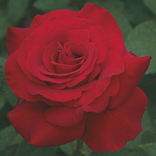 <h4>Opening Night</h4>       		<p>Hybrid Tea</p>         	<p><b>Height/Habit:</b> 4'- 5'<br>         	<b>Bloom Size:</b> Large<br>         	<b>Fragrance:</b> Slight<br>         	<b>Color:</b> Red<br>         	From late spring until early fall, your Opening Night will display 5-inch roses of up to 30 petals each; exceptional, long-lasting deep red blooms.       		</p>