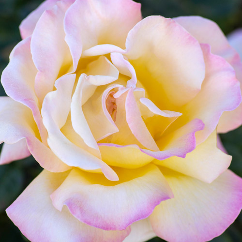 <h4>Peace</h4>       		<p>Hybrid Tea</p>         	<p><b>Height/Habit:</b> 4'- 3'<br>         	<b>Bloom Size:</b> Large<br>         	<b>Fragrance:</b> Moderate<br>         	<b>Color:</b> Yellow with Pink Blend<br>         	Beautiful, large, heavy cupped blooms of golden primrose-yellow with soft rose-pink shadings. Peace has been a gardener favorite for decades.       		</p>