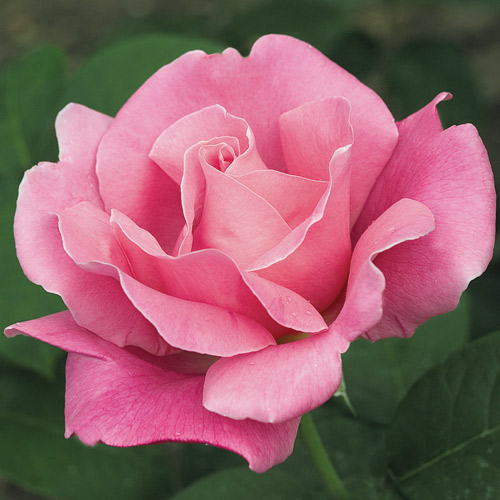 <h4>Perfume Delight</h4>       		<p>Hybrid Tea</p>         	<p><b>Height/Habit:</b> 3'- 4' tall x 2'- 3' wide<br>         	<b>Bloom Size:</b> N/A<br>         	<b>Fragrance:</b> N/A<br>         	<b>Color:</b> Pink<br>         	This rich, deep rose-pink beauty produces elegant buds that open into large, fully double 5 inch blooms which are born on long stems for cutting. THe perfume is strong, heady old damask rose fragrance.       		</p>