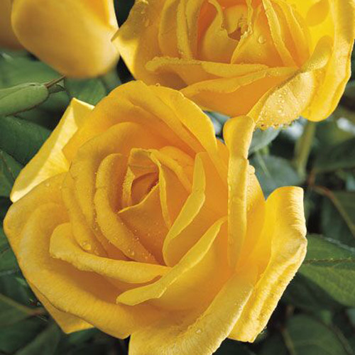 <h4>Radiant Perfume</h4>       		<p>Hybrid Tea</p>         	<p><b>Height/Habit:</b> 5'- 6'<br>         	<b>Bloom Size:</b> Large<br>         	<b>Fragrance:</b> Strong<br>         	<b>Color:</b> Deep Yellow<br>         	This stunning deep yellow garden rose exudes a strong, citrus perfume that will stop you in your tracks. It is a looker in the landscape, boasting graceful form.       		</p>