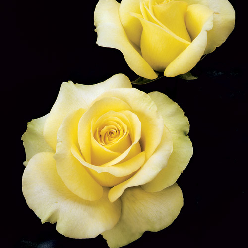 <h4>St. Patrick</h4>       		<p>Hybrid Tea</p>         	<p><b>Height/Habit:</b> 4'- 5'<br>         	<b>Bloom Size:</b> Medium<br>         	<b>Fragrance:</b> Slight<br>         	<b>Color:</b> Yellow Gold<br>         	TA super slow-opening yellow rose that takes the heat. Loads of novel chartreuse-shaded buds spiral open to yellow gold flowers of amazing stamina.       		</p>