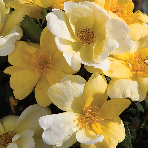 <h4>Sunny</h4>       		<p>Knock Out</p>         	<p><b>Height/Habit:</b>  3' - 4'<br>         	<b>Bloom Size:</b> Medium<br>         	<b>Fragrance:</b> Moderate<br>         	<b>Color:</b> Yellow<br>         	Fragrant, bright yellow flowers mature to a cream color and are produced continuously and profusely. Unsurpassed resistance to black spot.       		</p>