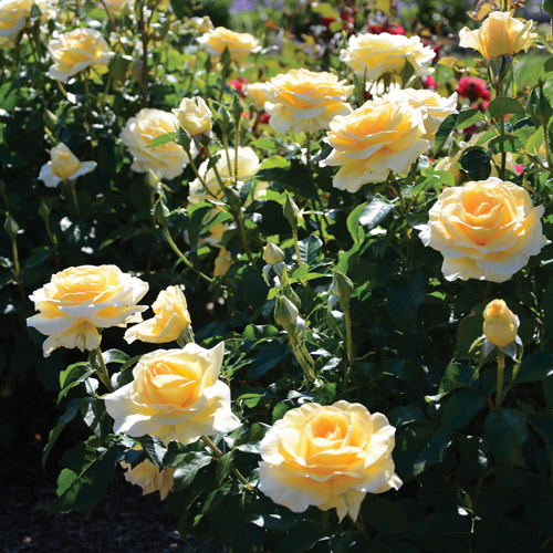 <h4>Sunshine Daydream</h4>       		<p>Hybrid Tea</p>         	<p><b>Height/Habit:</b> 4'- 5' tall, Rounded<br>         	<b>Bloom Size:</b> N/A<br>         	<b>Fragrance:</b> N/A<br>         	<b>Color:</b> Light Yellow<br>         	Abundant, large 3 1/2 inch light yellow flowers fade to a creamy yellow contrast nicely against its dark green foliage. Self-cleaning and is almost always in bloom. Disease resistant. Excellent as a specimen plant.       		</p>