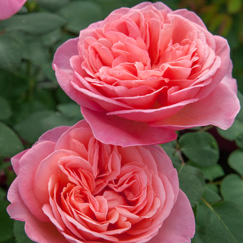 <h4>Sweet Mademoiselle</h4>       		<p>Hybrid Tea</p>         	<p><b>Height/Habit:</b> 5'<br>         	<b>Bloom Size:</b> Large<br>         	<b>Fragrance:</b> Strong<br>         	<b>Color:</b> Peachy Pink<br>         	Large full double blooms with excellent disease resistance and unique color; boasts a strong, sweet fragrance.       		</p>