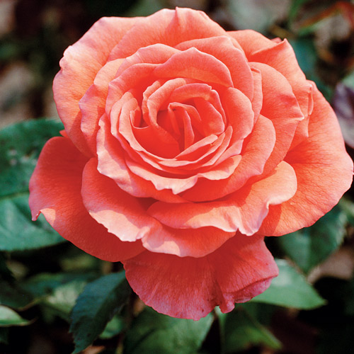 <h4>Tropicana</h4>       		<p>Hybrid Tea</p>         	<p><b>Height/Habit:</b> 3'- 6'<br>         	<b>Bloom Size:</b> Medium<br>         	<b>Fragrance:</b> Slight<br>         	<b>Color:</b> Coral Orange<br>         	An all time favorite hybrid tea with bright orange-red blend blooms and a fragrance to match its strong color and character.       		</p>