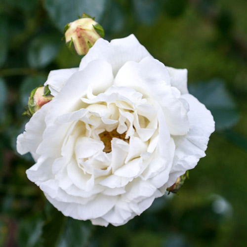 <h4>White Dawn</h4>       		<p>Climber</p>         	<p><b>Height/Habit:</b>  12' canes<br>         	<b>Bloom Size:</b> Medium<br>         	<b>Fragrance:</b> Strong<br>         	<b>Color:</b> White<br>         	Covered with double pure white, gardenia-like, ruffled flowers. Good re-bloomer with winter hardiness. Classic rose fragrance.       		</p>